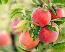 Multitalent Apfel – ein heimisches Superfood